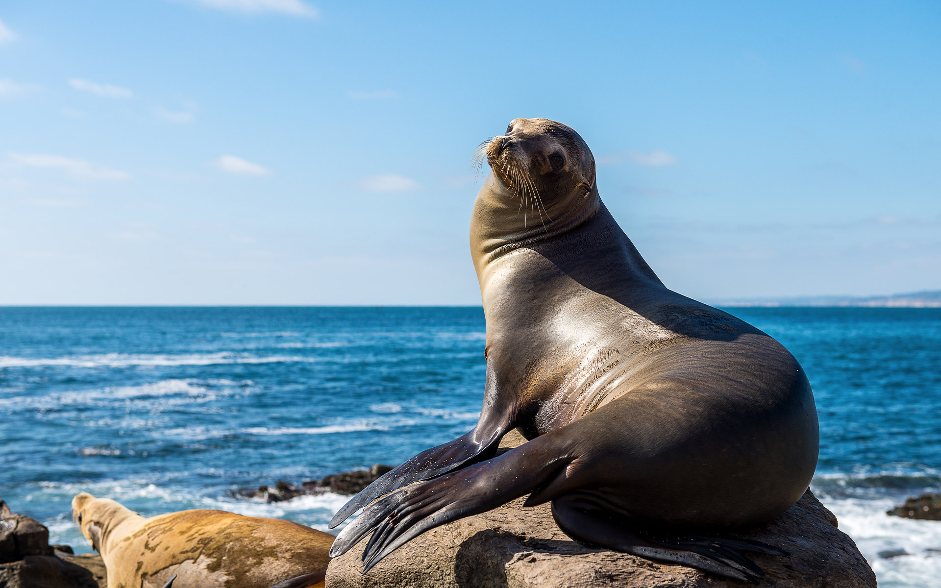 Homepage - California Sea Lion Looking Back as if He is Posing For Camera on a Sunny Day at the Beach