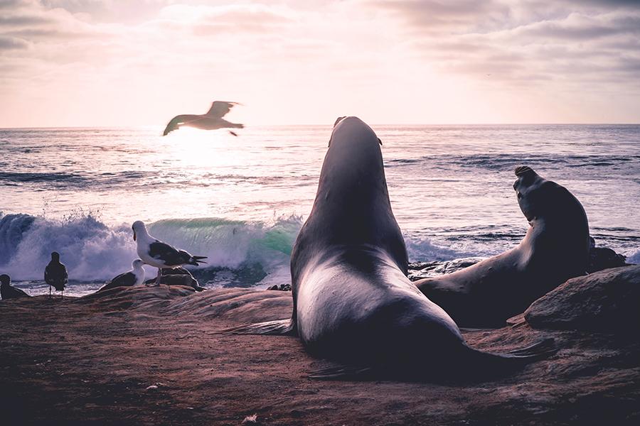 Seal Beach, CA - Seal and Sea Lion Enjoying the Sunset as a Bird Flies Over the Ocean